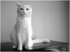 Yojiro (Andrey Leonardo) Tags: whitecat turkishangora yoji jinho gatobranco jorgin angoraturco