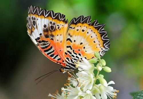 butterflies-Brooksde - 64