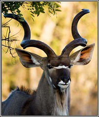 kudu bull with trophy horns (A.M.G.1 - cruising) Tags: africa andy nature animals african wildlife horns southafrican borntobewild goodman kudu andygoodman ngala 10faves kudubull wildlifesouthafrica bfgreatesthits btbw goodmanandy vosplusbellesphotos africanwildlifephotographer wildilfephotographer