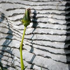 2009 -Mai- Munich - English garten way - Lithofleur (Glu⚇n du net ⨀⊙') Tags: urban flower fleur stone germany munich münchen bayern deutschland pierre stripes blume stein allemagne streifen mnchen rayures nikond80