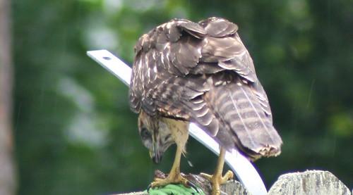 Hawk3859