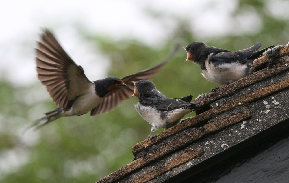 Swallow fledglings
