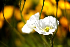 Blowing in the Breeze (marksjonathan) Tags: california white motion flower floral yellow canon still san francisco wind bokeh fantasia poppy breeze