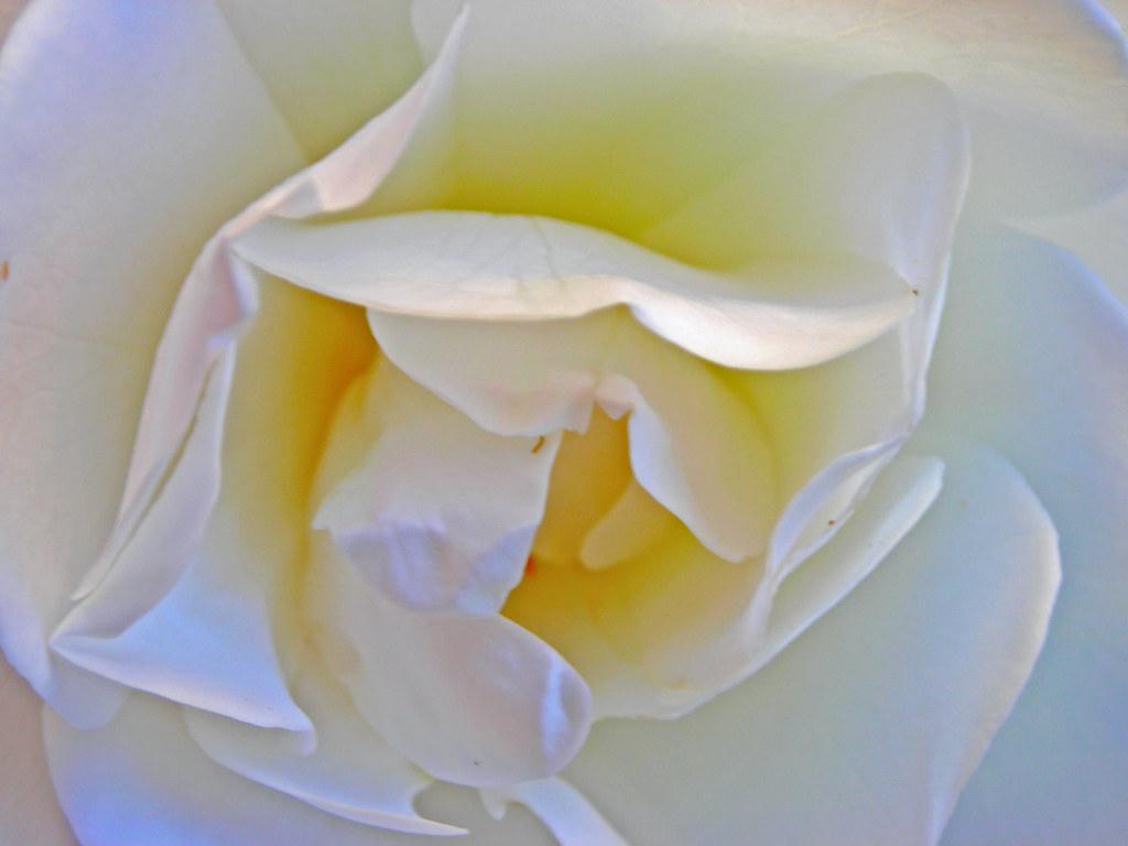 White Rose - My Garden