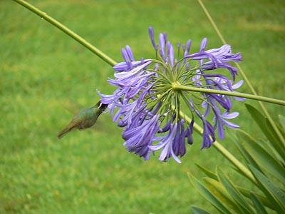 colibri sur fleur mauve.jpg