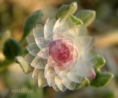 Droben cvetek (natalija2006) Tags: africa plant flower afrika namibia naturesfinest cvet rastlina bej roa platinumheartaward macromarvels namibija
