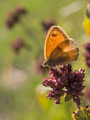 Fadet commun (Coenonympha pamphilus) Small Heath (Sinkha63) Tags: france macro nature butterfly lepidoptera papillon prairie insectes corrze limousin nymphalidae et satyrinae procris coenonymphapamphilus lpidoptre smallheath pgt abigfave rhopalocre puydarnac fadetcommun annesorbes