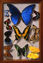 Butterfly Display 16x11 (Lee Alban) Tags: stilllife painting butterflies oil trompeloeil realism fooltheeye