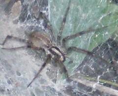 texas arachnid 2
