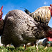 chicken image, photo or clip art
