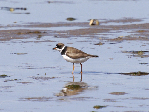Semipalmated Plover 4