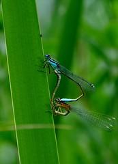 When nature calls... (CitroenAZU) Tags: blue macro green nature insect groen blauw dragonfly wing natuur bleu libelle vleugel copulation