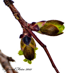Spring Growth of a Norway Maple (3) - Day 28 (SewerDoc (200 Explores)) Tags: wild plant ontario canada flower tree green nature leaves norway fruit leaf spring maple flora branch wildlife foliage explore growth acer twig bud deciduous rebirth botany sprout platanoides sprouting flickrexplore explored morphogenesis norwegianmaple sewerdoc norwaymaple acerplatanoides jaredfein mygearandme