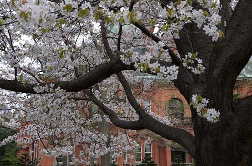 道庁の桜 by Teruaki@