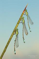 LE SORELLE BANDIERA (Siprico - Silvano) Tags: natura luna cernuscosulnaviglio naturalistica macrofografia macro siprico fotografianaturalistica 100commentgroup pricoco silvanopricoco wwwpricocoorg httpwwwpricocoorg wwwfotografiamacrocom fotografiamacrosbuzznbugzcanonsoloreflexmacrofotografiafotografia