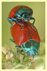 Chrysomela populi (PheCrew) Tags: macro bug insect phe coccinella chrysomelidae coleottero soken accoppiamento macrolife chrysomelapopuli sereproduire