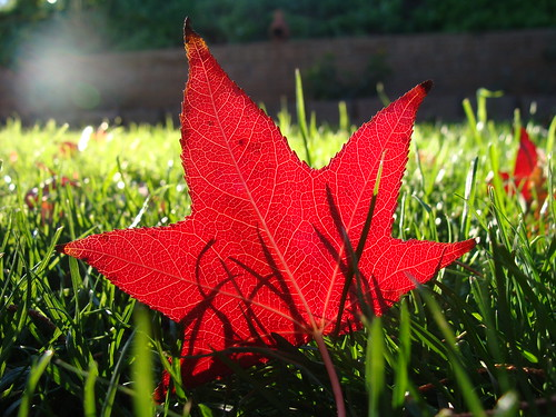 red sweetgum leaf on grass, in morning sunlight