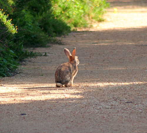 Rabbit; Ghadira Nature Reserve, Malta