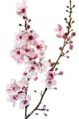 Cherry Branch on White