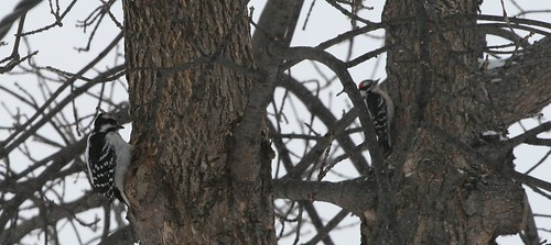 Downy and Hairy Woodpeckers by you.