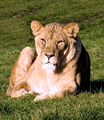 Lion in sunshine (Starchild_***) Tags: wild sunshine nikon lion safari captive d3 prisoner captivity wildanimals westmidlandssafaripark bewdley borntobefree imprisioned flickrbigcats lightiq