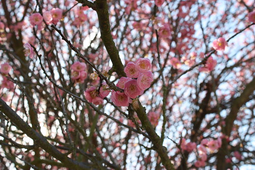 Japanese Apricot Blossoms II