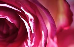I prefer sunny days (Ghadeer Q) Tags: pink light shadow macro rose closeup canon petals lavender fuschia kuwait naturallighting macro100 ghadeerq