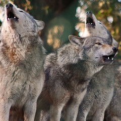 Grey Wolves Howling (Gary's Photos!!) Tags: ireland irish dog eye dogs animal canon fur mammal nose photography eos grey photo big scary paw wolf foto fierce wildlife teeth gray bad conservation canine ear celtic endangered lupus breathtaking graywolf wolves gentle howl carnivore protected phoenixpark greywolf canis dublinzoo goldenglobe canislupus threatened chordata canidae 50d digitalcameraclub garywilson baileathcliath aplusphoto goldwildlife thebestofday gnneniyisi qualitypixels flickrlovers breathtakinggoldaward vosplusbellesphotos oneofmypics photographersworldbestfriends