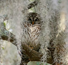 barred-owl-3 by rstricknwf, on Flickr