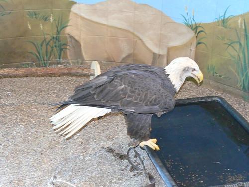 National Eagle Center eagle