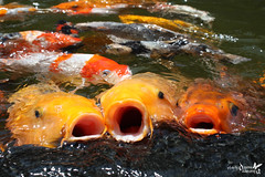 Nature | Say Cheese (Diyana Kamaruza) Tags: travel fish car animal canon mall indonesia pond koi carp bandung jalan common cascade dago shoping nishikigoi carpio diyana cyprinus 450d brocaded kamaruzaman diyanakamaruza kamaruza