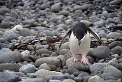 life, taking it one rock at a time (zoom images) Tags: bird feet station walking geotagged penguin antarctica pebbles carefully approaching flightless chinstrap southshetlands kinggeorgeisland impressedbeauty arctowski