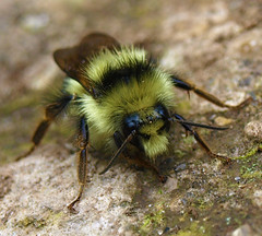Little Bumble Bee on a Rock (jhhwild) Tags: rock little bee bumble 1on1allbugsphotooftheweek 1on1allbugsphotooftheweekmarch2009
