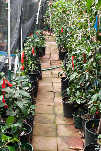 A path in John Wang's camellia garden
