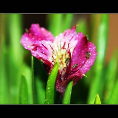 Thank you AnDy... (JannaPham) Tags: red flower macro green andy nature dedication thanks canon garden eos golden droplets drops friend colorful flickr friendship bokeh gorgeous project365 happy 40d 47365 thursday happygorgeousgreenthursday hggt jannapham andyledd