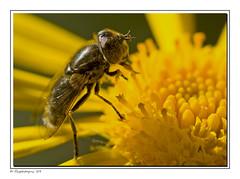 Fly On a Flower II (FlyPhotoGuy) Tags: macro nature sigma flies 180mm macrolife