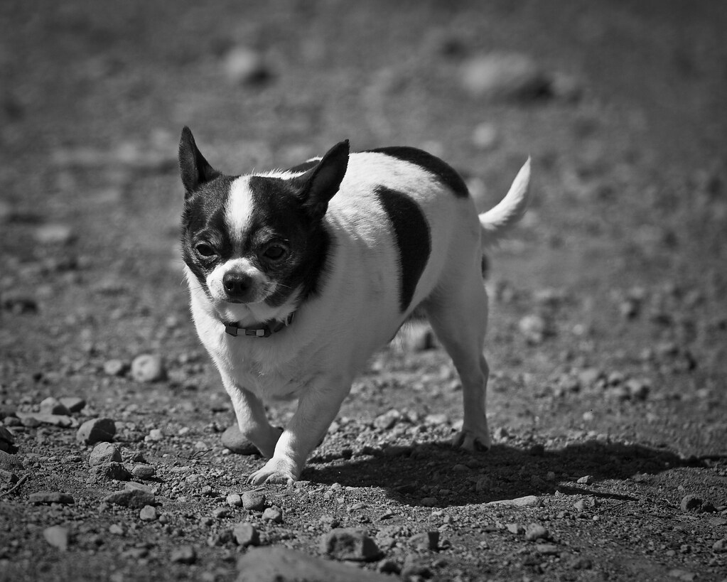 Good Chihuahua Chubby Adorable Dog - 3357177872_e4c0e1c083_b  Graphic_944179  .jpg