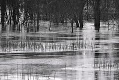 The Flood Plain Melts (Madison Guy) Tags: blackandwhite bw water wisconsin midwest swamp wetlands marsh rockriverfloodplain
