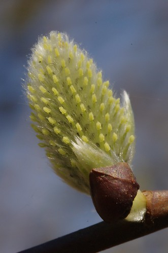 Salix caprea | Boswilg: stamperkatje - goat willow, female catkin