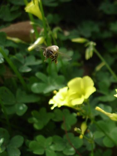 Bee above sorrel