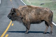 Roadblock (dbushue) Tags: buffalo yellowstone bison soe tatanka