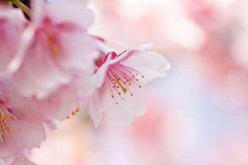 cherry pink*