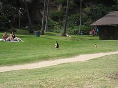 Chickens (LVJeff) Tags: hawaii oahu hanaumabay