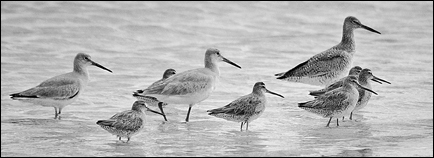 Willets, Photograph by Robert Hitchman, All Rights Reserved