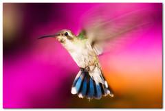""" Wings "" (Alfredo11) Tags: naturaleza motion bird texture textura nature colors rose speed fly wings beige bravo dof hummingbird little bokeh background flash flight beak feather rosa colores movimiento ave pico alas pluma pajaro capture tones rapido fondo aereo acton airy treatment vuelo fushia colibri tratamiento plumage captura volando chiquito volar sb800 vivaz picaflor tonos plumaje pocketwizard rapidez creativelightingsystem beijaflores nikon80400mm volour sb900 avvion nikond3 elinchromlite2"