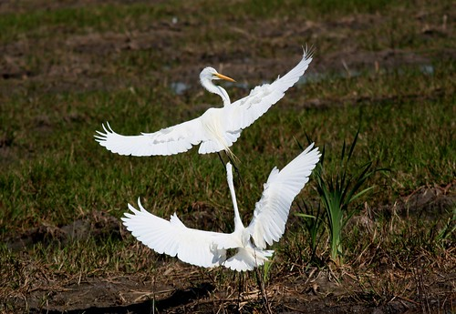 Great Egrets - 3/16/2009