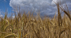 Perennial grains could be biggest agricultural innovation in eons