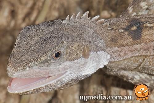 Amphibolurus temporalis