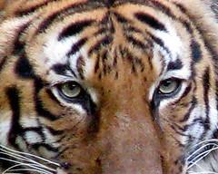 Tiger Eyes, 2008 (Satin Ribbon) Tags: wild nature beauty animal wildlife jungle 2008 houstonzoo catwalking stalkingtiger flickrbigcats tigertigerburningbrightintheforestofthenight approachingtiger