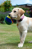 Throw It! (Chris Turner Photography) Tags: dog playing ball mouth garden puppy toy golden furry waiting labrador retriever willow fetch
